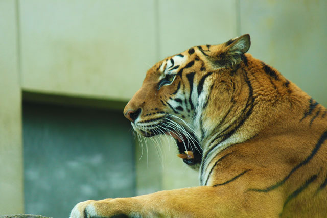 いしかわ動物園のトラ