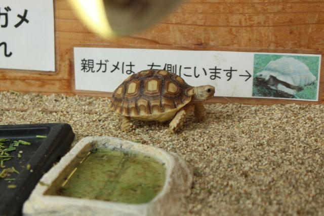 いしかわ動物園のケヅメリクガメ
