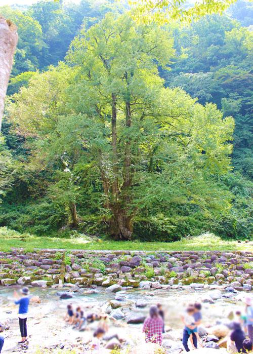 瀬波川キャンプ場天然記念物の桂